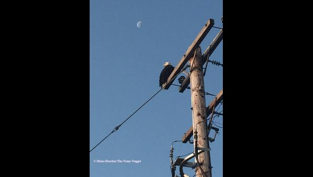 BALDY OF NOME— This bald eagle was seen at the Snake River near the postal annex last week.