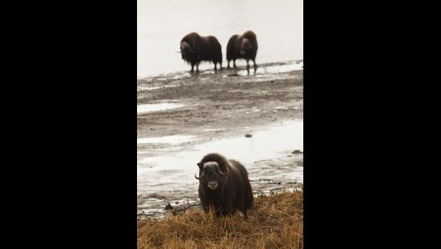 URBAN MUSK OXEN— A musk oxen herd hung out near Snake River in town last week. Musk oxen have killed several sled dogs over the years.
