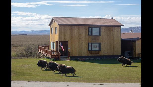 LAWN TRIMMERS – Four musk ox, startled by the arrival of the home owner in a pickup, bolt from the lawn they've been nibbling at on the Teller Highway near Icy View.