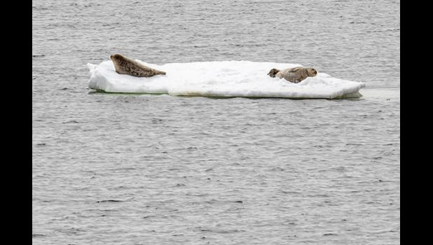 Seal pups rest on an ice floe at Bonanza Channel.